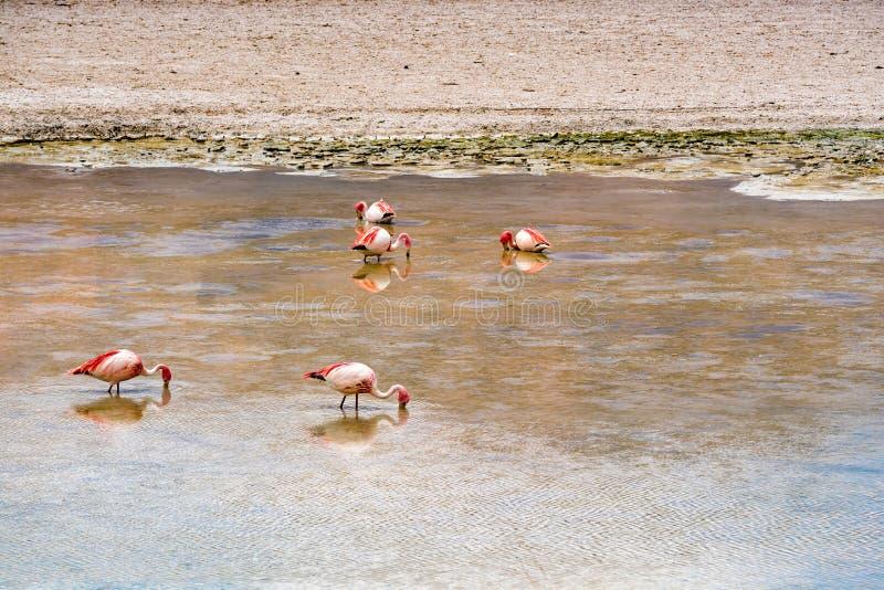 Troupeau de James Flamingos alimentant dans le lac Canapa photographie stock libre de droits