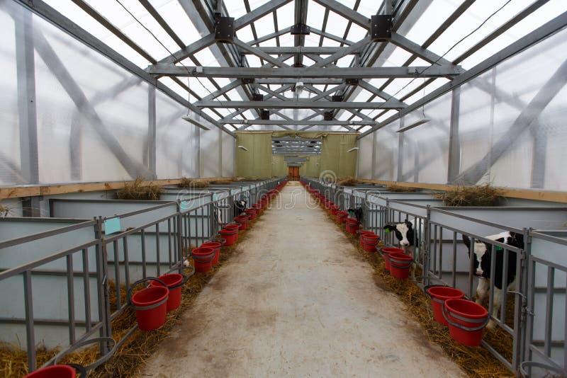 Troupeau de jeunes vaches dans l'étable photographie stock libre de droits