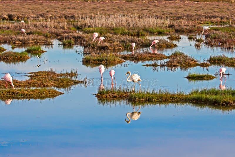 Troupeau de l'alimentation de Lesser Flamingos photo stock