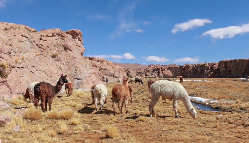 Troupeau de lamas images libres de droits
