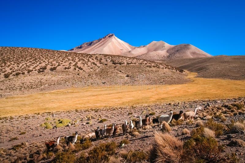 Troupeau de lamas frôlant en montagnes boliviennes images libres de droits