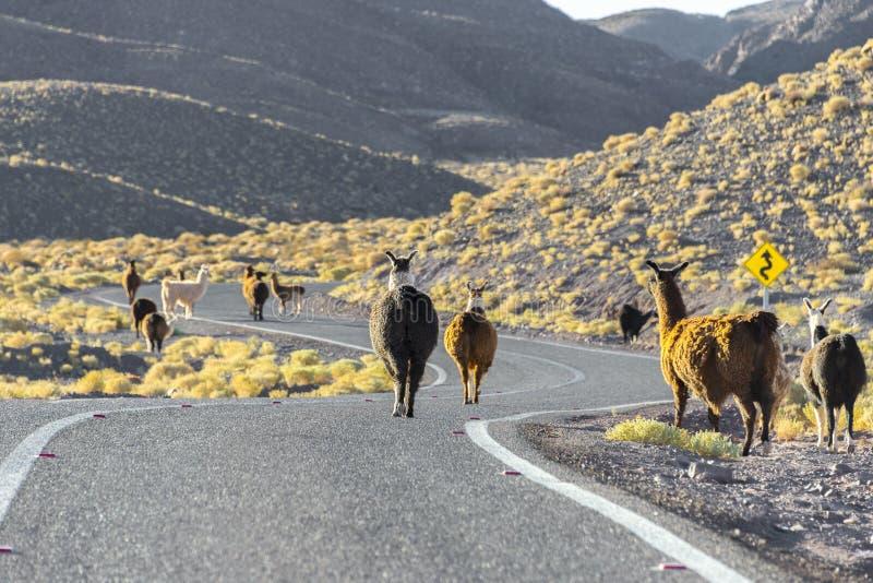 Troupeau de lamas traversant la route, Chili image libre de droits