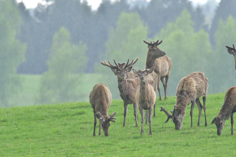 Troupeau de mâle de cerfs communs avec l'andouiller croissant frôlant le plan rapproché d'herbe photographie stock