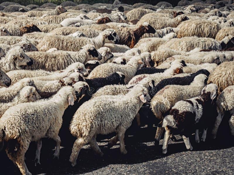 troupeau de marche noire et blanche de moutons photos stock