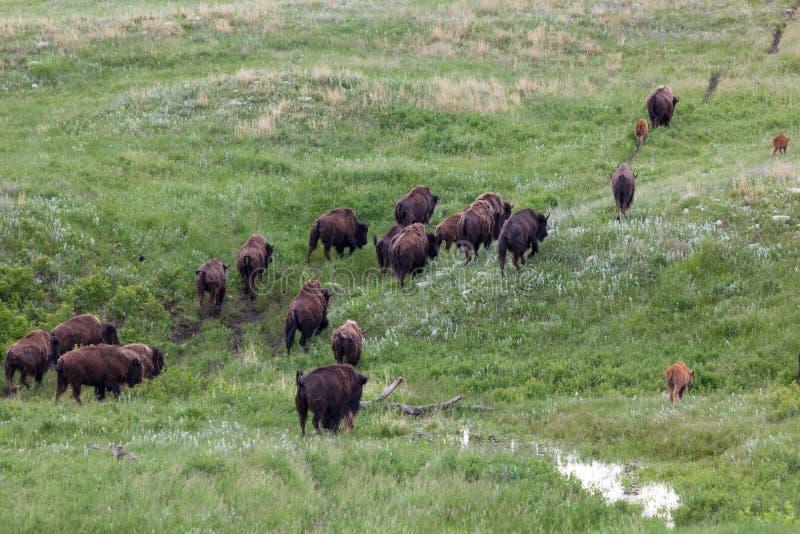 Troupeau de migration de bison images libres de droits