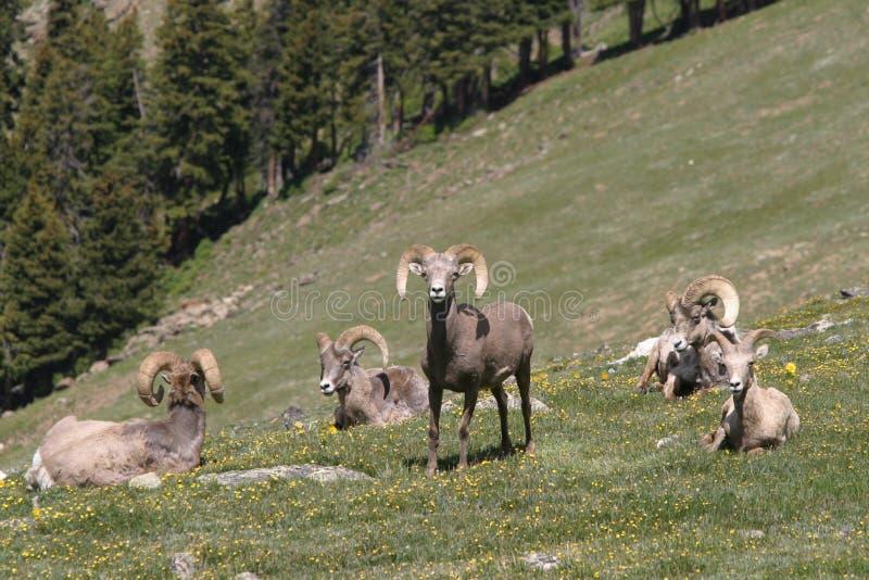 Troupeau de mouflon d'Amérique photos stock
