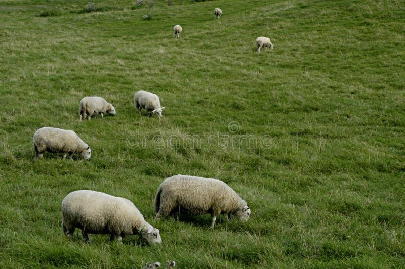 Troupeau de moutons à la prairie image stock