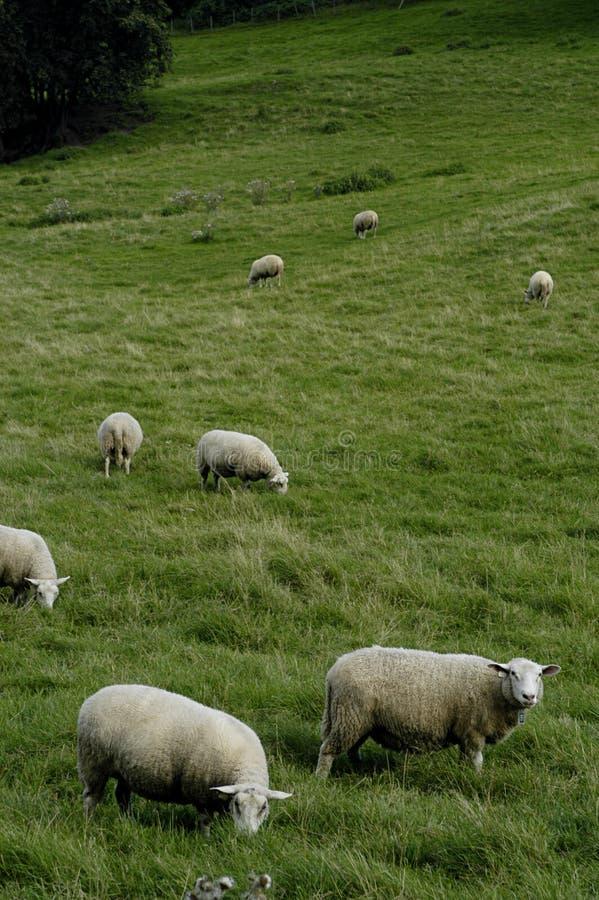 Troupeau de moutons à la prairie images stock