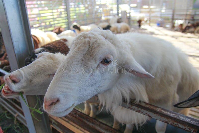Download Troupeau de moutons image stock. Image du bande, agneau - 45368885