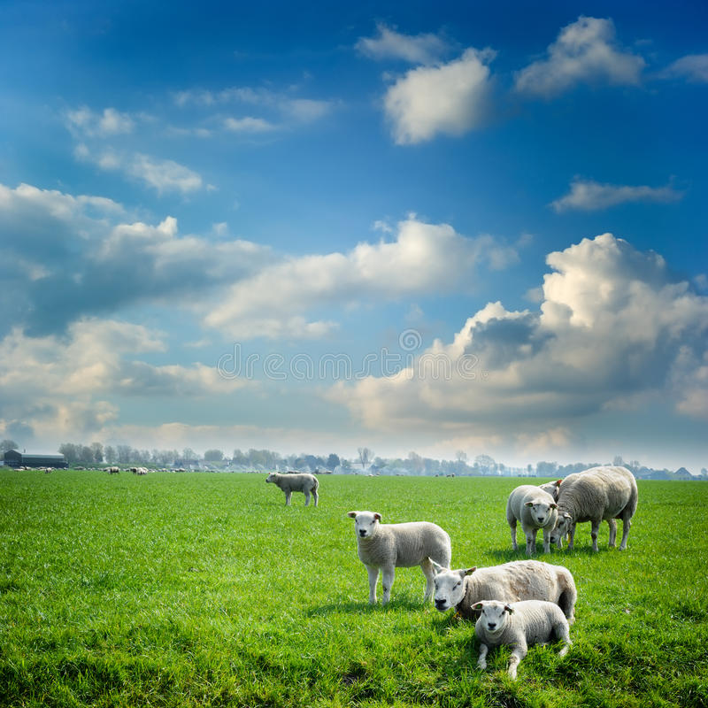 Troupeau de moutons au champ vert photo stock