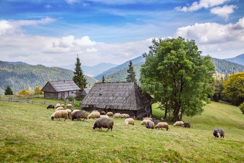 Troupeau de moutons frôlant haut dans les montagnes d'automne photo libre de droits