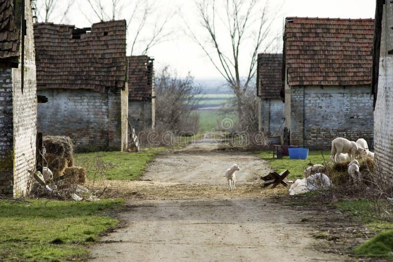 Troupeau de moutons frôlant au village abandonné photographie stock