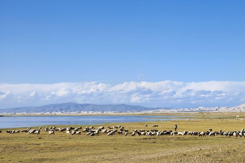 Troupeau de moutons frôlant près du Lac Qinghai image libre de droits
