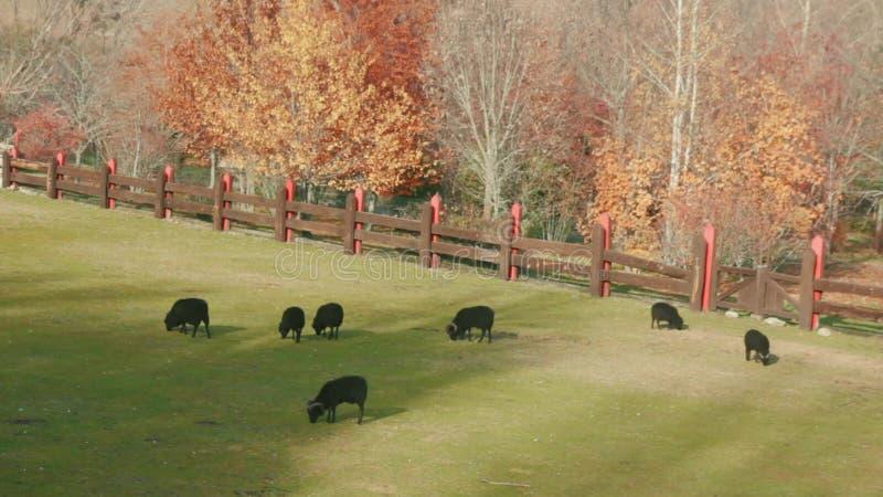 Troupeau de moutons noirs et de RAM frôlant l'herbe sur le pré clôturé au jour ensoleillé banque de vidéos