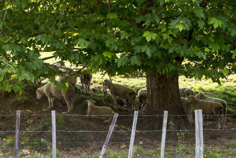 Troupeau de moutons se reposant sous un arbre photographie stock