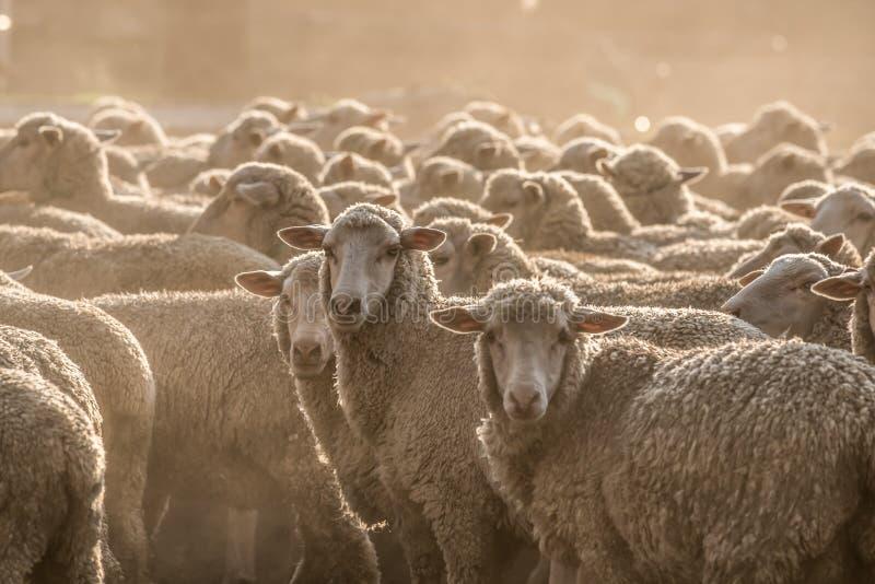 Troupeau de moutons se tenant dans la poussière photos stock