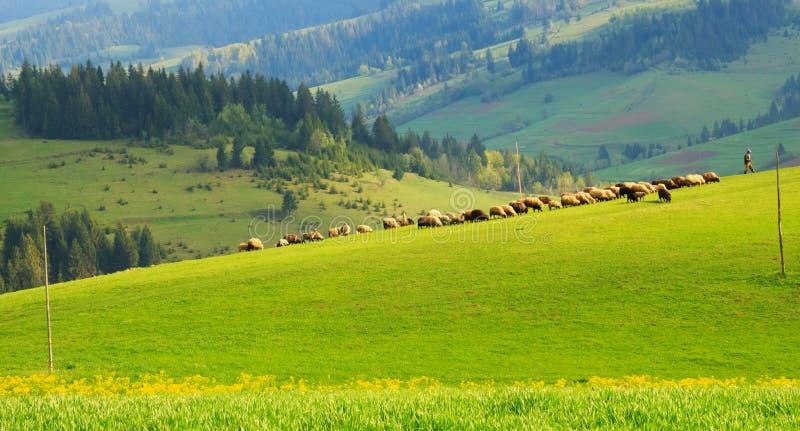 Troupeau de moutons sur la pelouse verte dans les montagnes carpathiennes photographie stock libre de droits