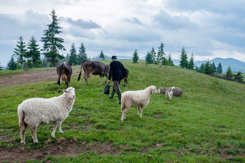 Troupeau de moutons sur le pâturage images stock