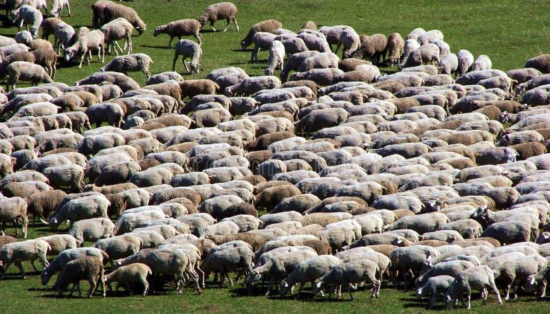 Troupeau de moutons sur le pré vert 1 photographie stock