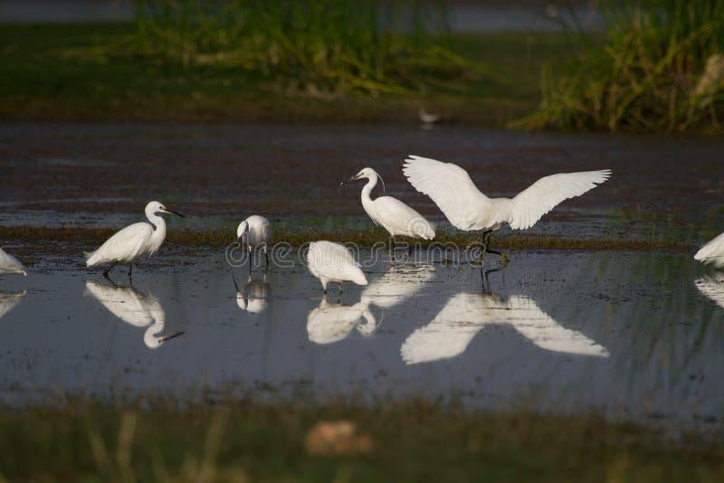 Troupeau de petits et intermédiaires hérons pêchant dans un étang photo stock