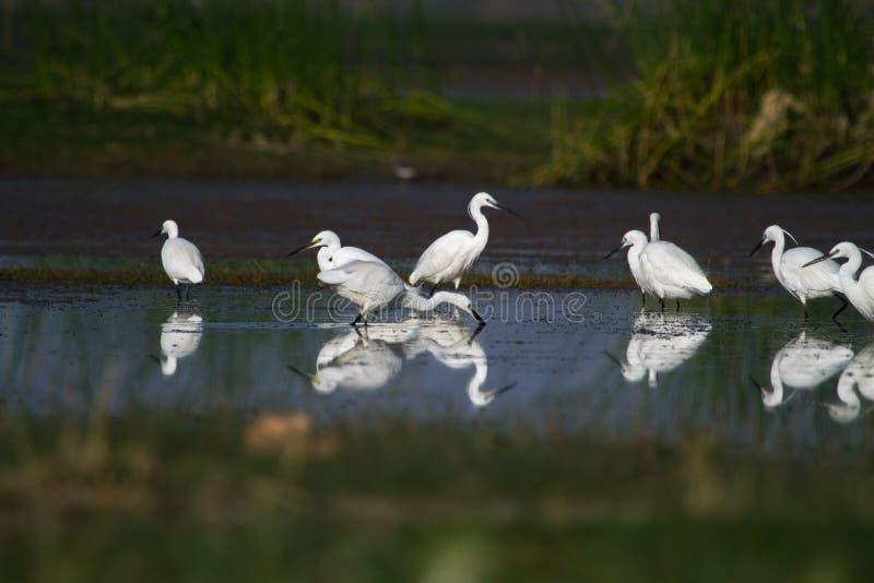 Troupeau de petits et intermédiaires hérons pêchant dans un étang photo libre de droits