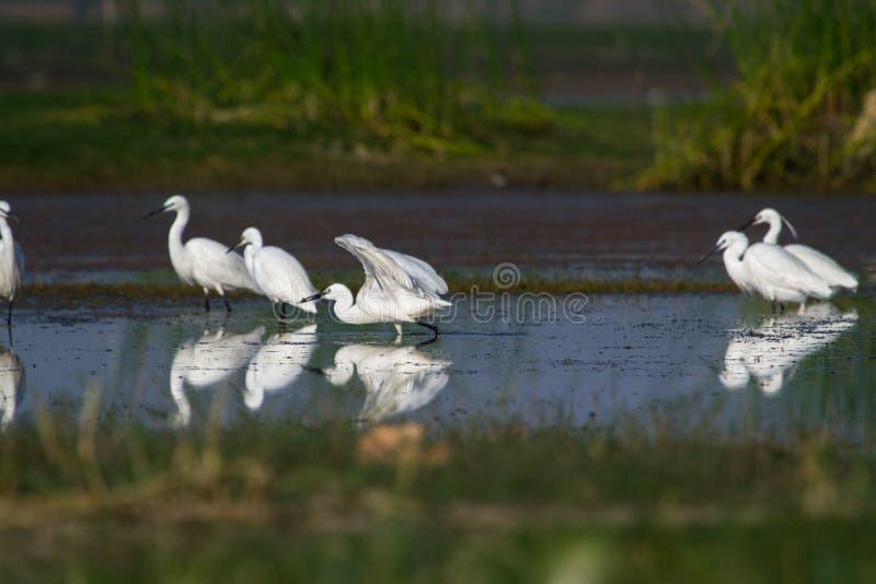 Troupeau de petits et intermédiaires hérons pêchant dans un étang photos libres de droits