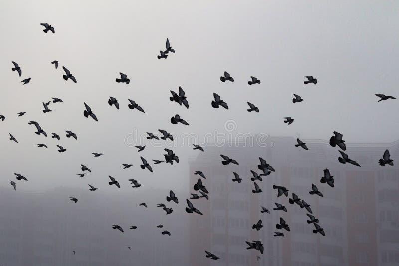 Troupeau de pigeon dans une ville brumeuse image libre de droits