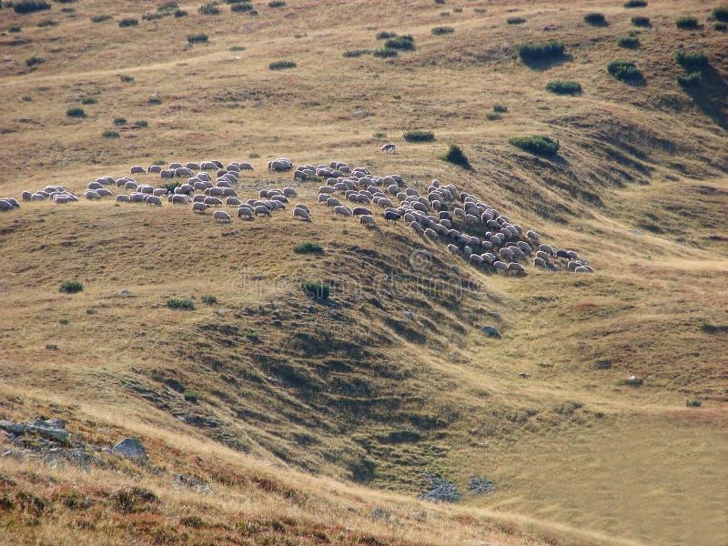 Troupeau de troupeau de points d'entrée et de sortie de sheeps image libre de droits