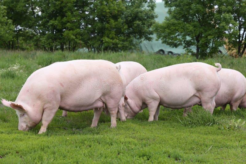 Troupeau de porcs frôlant à la bio ferme d'animaux d'eco photos libres de droits
