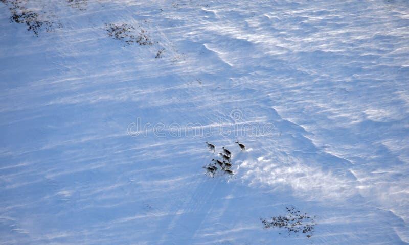 Troupeau de renne dans la toundra d'hiver photos stock