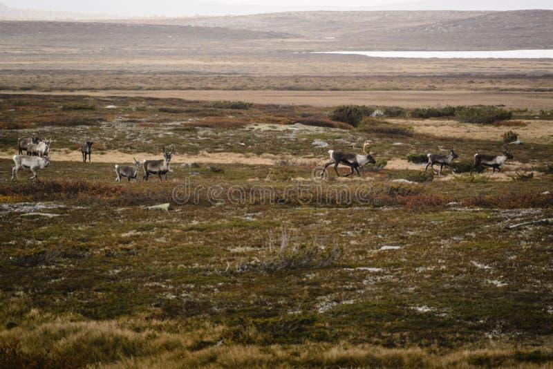 Troupeau de renne sur la toundra en Suède image libre de droits