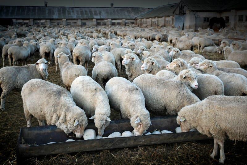 Troupeau de sheeps photo libre de droits