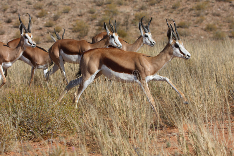 Troupeau de springbok photographie stock libre de droits