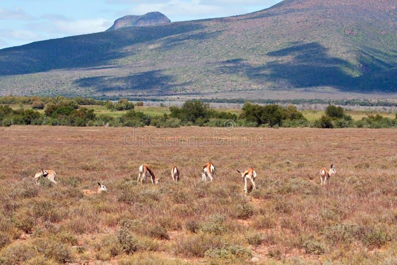 Troupeau de springbok sur une plaine photographie stock libre de droits