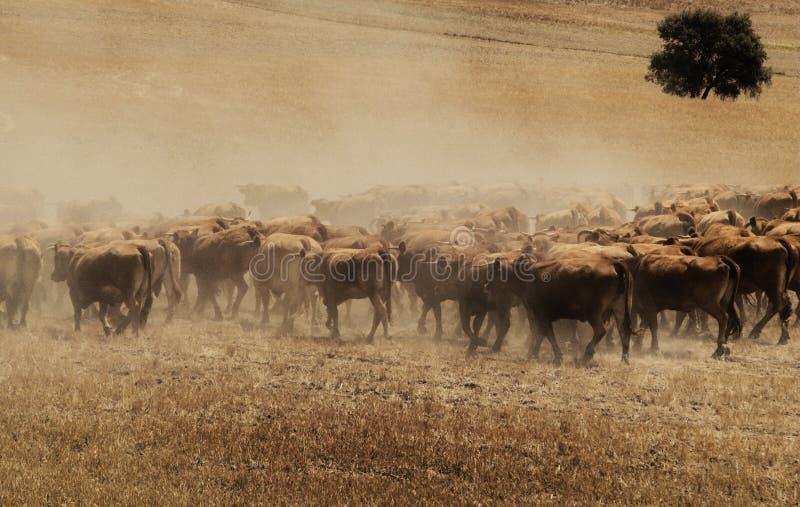 Troupeau de taureaux en Espagne du sud photo stock