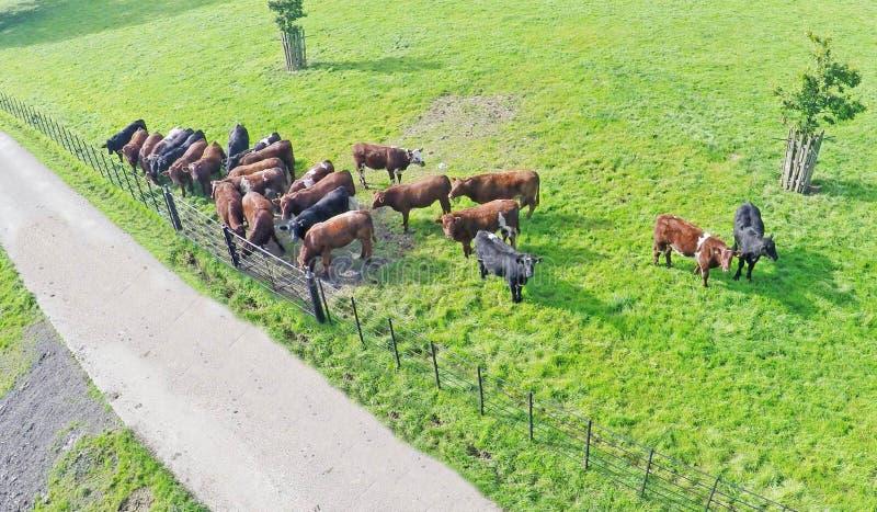 Troupeau de vaches à bétail de limousine photographie stock