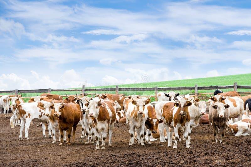 Troupeau de vaches à la ferme images stock