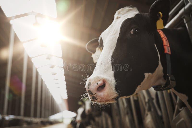 Troupeau de vaches dans l'étable à l'exploitation laitière images libres de droits