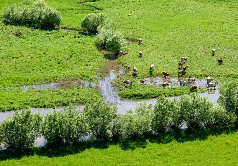 Troupeau de vaches photographie stock libre de droits