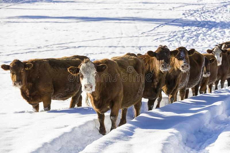 Troupeau de vaches dans un domaine neigeux photos stock