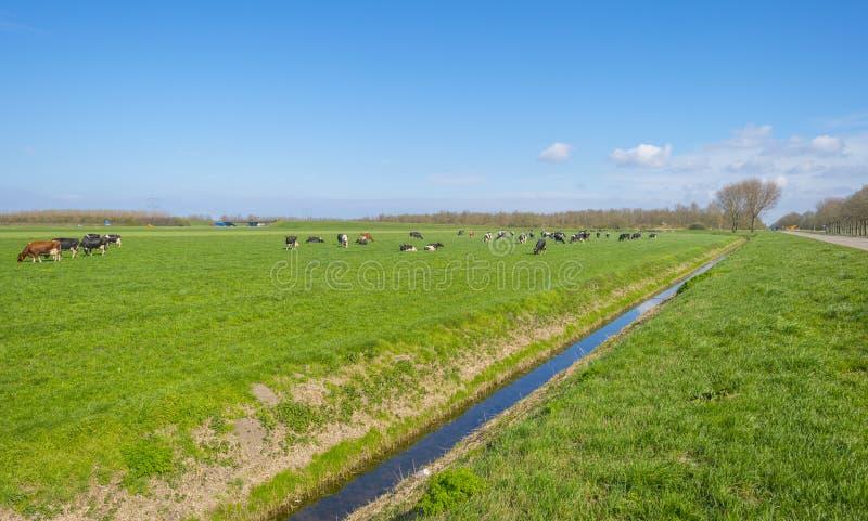 Troupeau de vaches dans un pré vert au-dessous d'un ciel bleu au soleil I photographie stock libre de droits