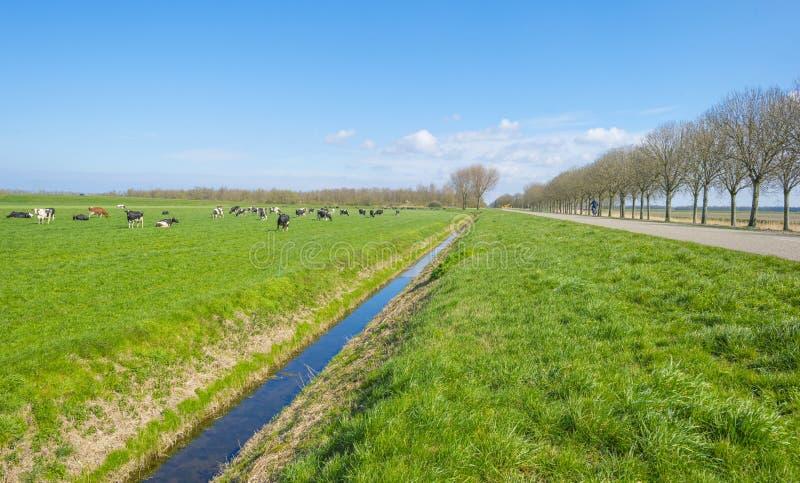 Troupeau de vaches dans un pré vert au-dessous d'un ciel bleu au soleil I photo libre de droits