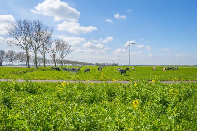 Troupeau de vaches dans un pré vert au-dessous d'un ciel bleu au soleil I images stock