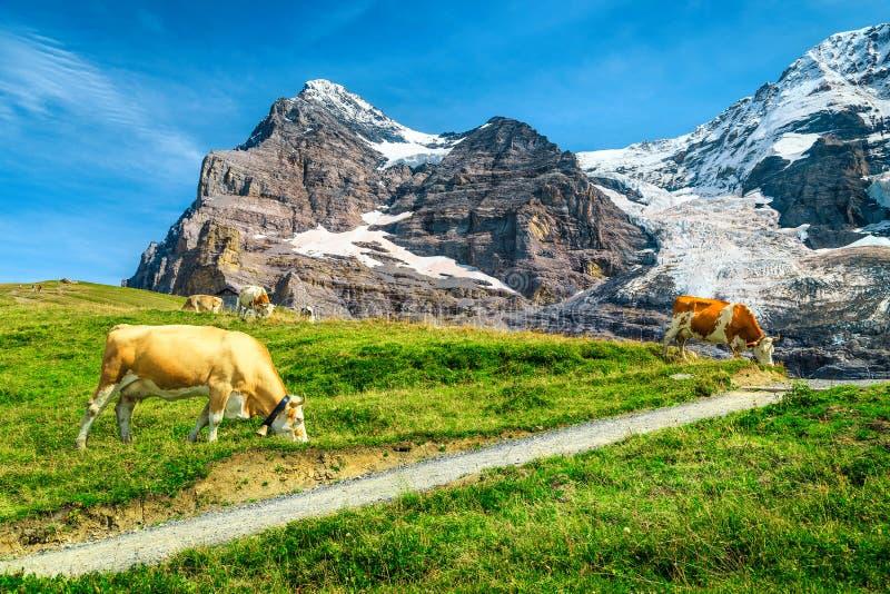 Troupeau de vaches et de pâturage alpin, Grindelwald, Bernese Oberland, Suisse photographie stock libre de droits