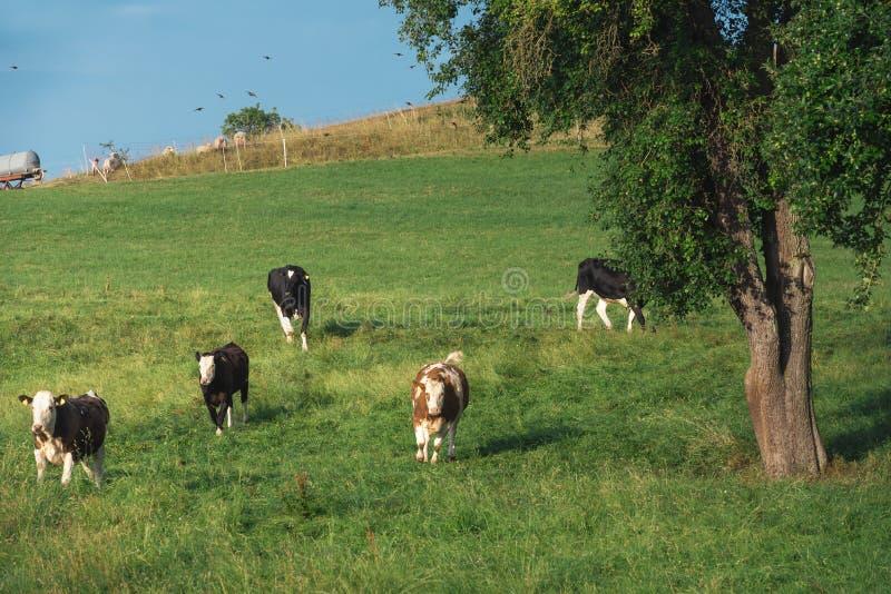Troupeau de vaches fonctionnant sur un pâturage vert photo stock