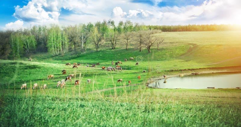 Troupeau de vaches frôlant sur un pré vert près du lac dans les collines au jour d'été ensoleillé Le paysage pittoresque Exploita photographie stock