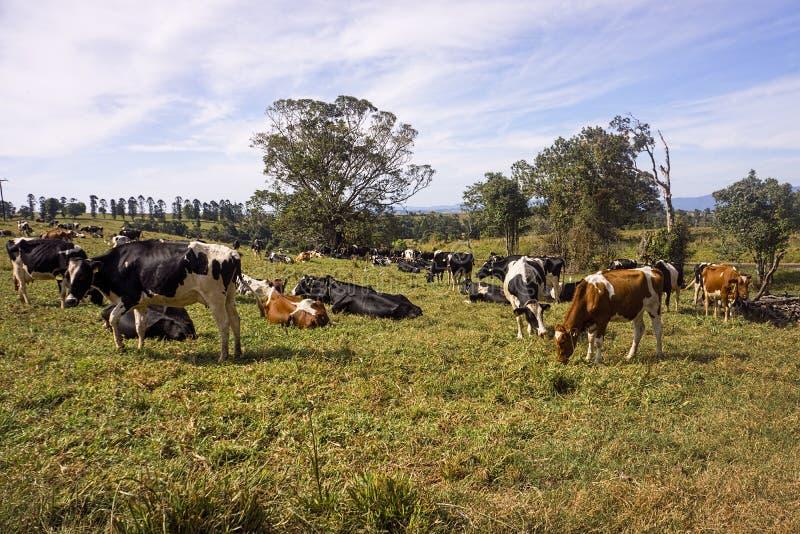 Troupeau de vaches laitières frôlant dans le domaine photo libre de droits