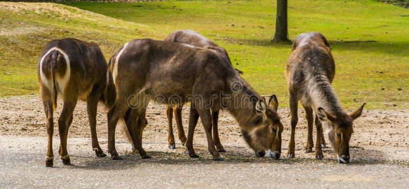 Troupeau de waterbucks femelles ensemble, espèce d'antilope de marais d'Afrique image libre de droits