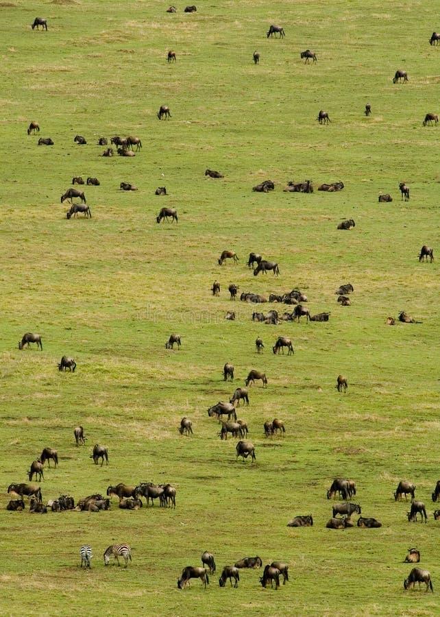 Troupeau de Wildebeest photo libre de droits