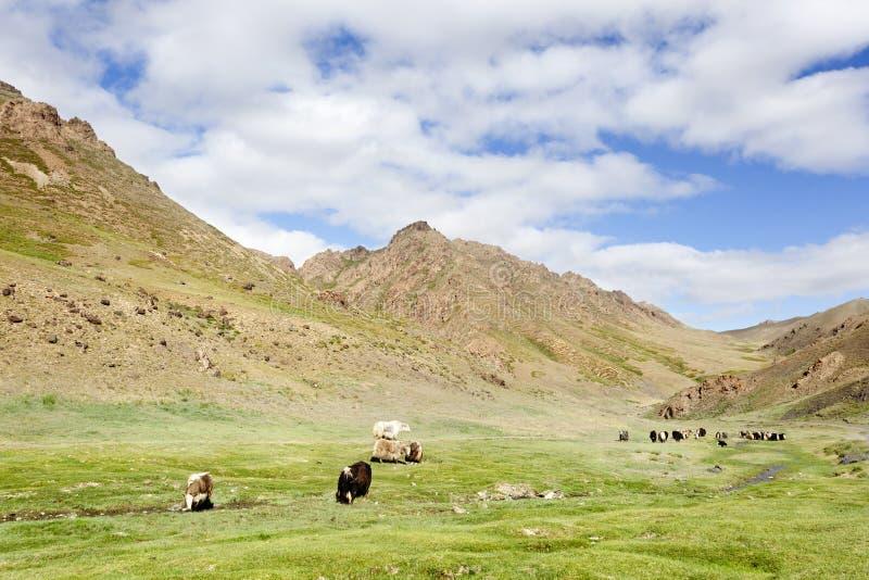 Troupeau de yaks images libres de droits